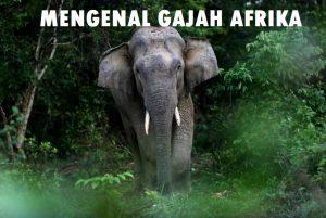Mengenal Gajah Afrika